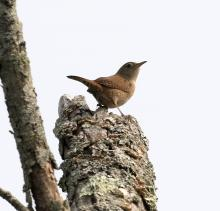A house wren at Breakneck Hill Conservation Land in Southborough, photographed by Steve Forman.