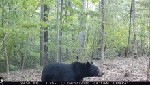 An American black bear in Harvard, photographed using an automatically triggered wildlife camera by Steve Cumming.