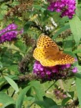 A fritillary in Northborough, photographed by Marnie Frankian.