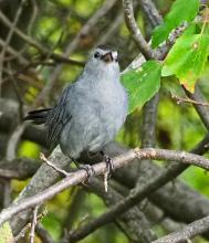 A gray catbird in Wayland, photographed by Joan Chasan.