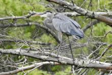 A great blue heron at Hamlen Woods in Wayland, photographed by Chuck Hill.