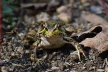 A northern leopard frog in Northborough, photographed by Cindy Burns.