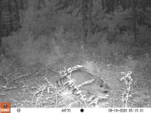 A raccoon at SVT's General Federation of Women's Clubs of Massachusetts Memorial Forest in Sudbury, photographed with an automatically triggered wildlife camera by Craig Smith.
