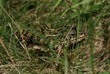 A leopard frog at Greenways Conservation Area in Wayland, photographed by Victoria Holland.