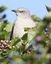 A northern mockingbird at Breakneck Hill Conservation Land in Southborough, photographed by Steve Forman.