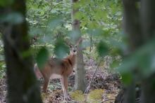 A white-tailed deer at Greenways Conservation Area in Wayland, photographed by Victoria Holland.