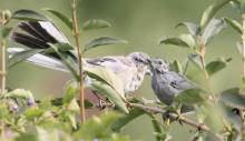 A northern mockingbird (l) and a gray catbird (r) at Breakneck Hill Conservation Land in Southborough, photographed by Steve Forman.