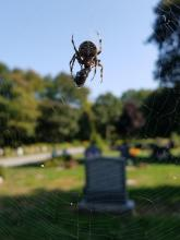 An orb weaver spider in Northborough, photographed by Marnie Frankian.