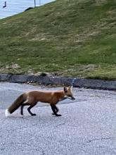 A red fox in Framingham, photographed by Duncan Speel.