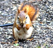 A red squirrel in Lincoln, photographed by Harold McAleer.