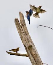 An eastern bluebird and a pair of house sparrows at Breakneck Hill Conservation Land in Southborough, photographed by Steve Forman.