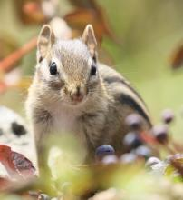 An eastern chipmunk at Breakneck Hill Conservation Land in Southborough, photographed by Steve Forman.