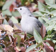 A gray catbird at Breakneck Hill Conservation Land in Southborough, photographed by Steve Forman.