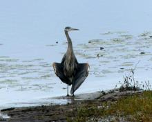 A great blue heron on the Sudbury River in Lincoln, photographed by Harold McAleer.