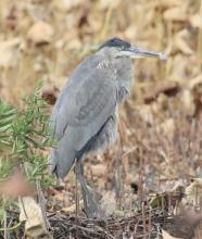 A great blue heron at Great Meadows in Concord, photographed by Steve Forman.