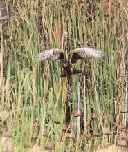 A northern harrier at Great Meadows in Concord, photographed by Steve Forman.