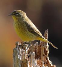 A palm warbler at Assabet River National Wildlife Refuge in Sudbury, photographed by Dan Trippe.