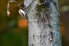 A brown creeper at Assabet River National Wildlife Refuge in Maynard, photographed by Gail Sartori.