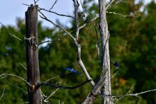 Eastern bluebirds and a warbler at Assabet River National Wildlife Refuge in Maynard, photographed by Gail Sartori.
