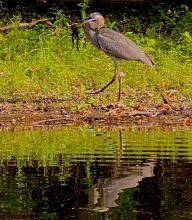 A great blue heron with a frog on the Concord River, photographed by Sherry Fendell.