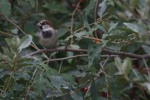 A house sparrow in Maynard, photographed by Gail Sartori.