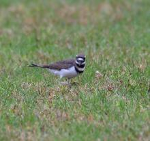 A killdeer in Maynard, photographed by Gail Sartori.