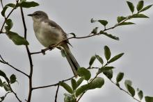 A northern mockingbird in Maynard, photographed by Gail Sartori.