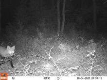 A red fox at SVT's General Federation of Women's Clubs of Massachusetts Memorial Forest in Sudbury, photographed with an automatically triggered wildlife camera by Craig Smith.