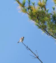 An American kestrel at Assabet River National Wildlife Refuge in Maynard, photographed by Gail Sartori.