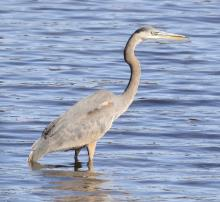 A great blue heron at Foss Reservoir in Framingham, photographed by Steve Forman.