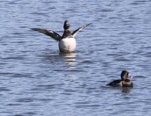 Ring-necked ducks at Foss Reservoir in Framingham, photographed by Steve Forman.