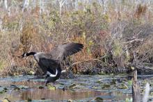 A Canada goose at Assabet River National Wildlife Refuge in Maynard, photographed by Gail Sartori.