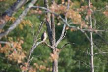 A Cooper's hawk at Assabet River National Wildlife Refuge in Maynard, photographed by Gail Sartori.