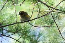 A yellow-rumped warbler at Assabet River National Wildlife Refuge in Maynard, photographed by Gail Sartori.