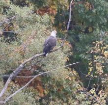 A bald eagle at Heard Pond in Wayland, photographed by Steve Forman.