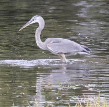 A great blue heron along the Sudbury River in Wayland, photographed by Steve Forman.