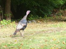 A turkey and a gray squirrel in Concord, photographed by Harold McAleer.