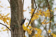 A red-bellied woodpecker at Smith Conservation Land in Littleton, photographed by Gail Sartori.