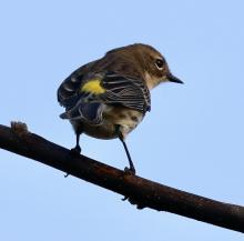 A yellow-rumped warbler at Breakneck Hill Conservation Land in Southborough, photographed by Steve Forman.