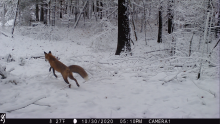 A red fox in Stow, photographed with an automatically triggered wildlife camera by Steve Cumming.