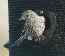 A pine siskin in Lincoln, photographed by Ron McAdow.