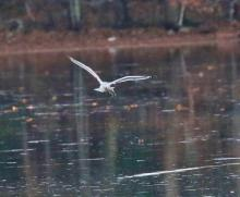 A ring-billed gull with a fish at Hager Pond in Marlborough, photographed by Steve Forman.