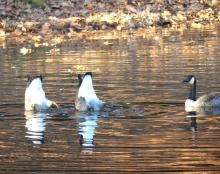 Canada geese on Farrar Pond in Lincoln, photographed by Harold McAleer.