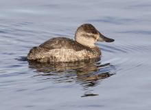 A ruddy duck at Foss Reservoir in Framingham, photographed by Steve Forman.
