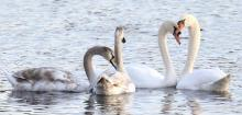 Mute swans at Hager Pond in Marlborough, photographed by Steve Forman.