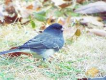 A dark-eyed junco in Harvard, photographed by Robin Right.