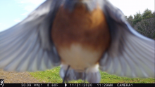 An eastern bluebird in Boxborough, photographed with an automatically triggered wildlife camera by Steve Cumming.