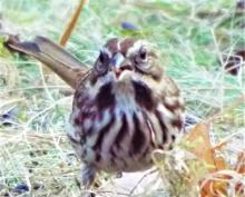 A song sparrow in Harvard, photographed by Robin Right.