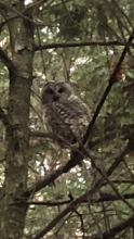 A barred owl in Acton, photographed by Russell Nichols.