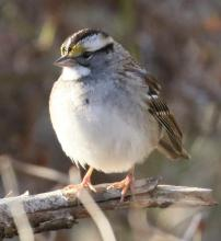 A white-throated sparrow at Breakneck Hill Conservation Land in Southborough, photographed by Steve Forman.